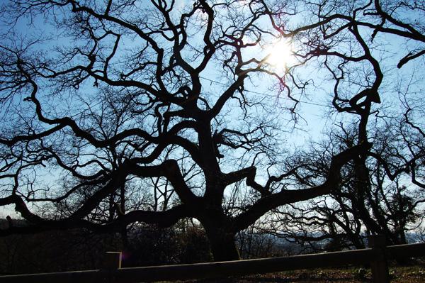 Le chêne pubescent de la ferme des Iris
