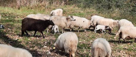 Une partie du troupeau de brebis au parc du Loret, à côté de leur base-vie hivernale de Triboulet à Cenon